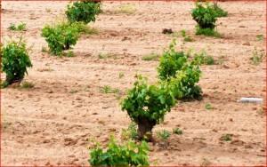 Bearbeiteter, tonhaltiger Boden mit Rebstöcken in der Mancha