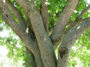 Viel Schatten unter dem Feigenbaum