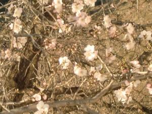 Mandelblüte am 6.1.2012