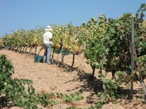 Bodega Los Barrancos: Ein Tag der Weinlese 2012 (12.09.2012)