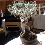 Oliven-Bonsai als Dekoration füt rinr tapa im Can Roca
