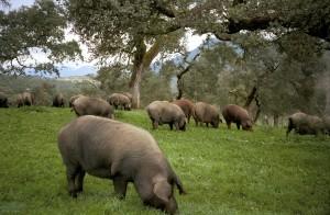 Iberische (schwarze) Schweine unter Steineichen