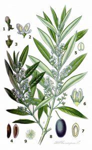 """Blühender Olivenzweig nach einer Illustration aus """"Köhler's Medicinal-pflanzen"""" von 1887 (gemeinfrei)."""