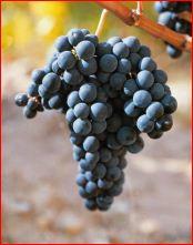 "Die Tempranillo-Traube: Grundlage für den ""vino de cosechero"""