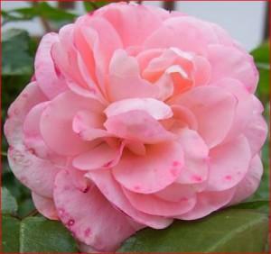 Die Rosenblüte: Vorbild für Name und Farbe des Roséweins
